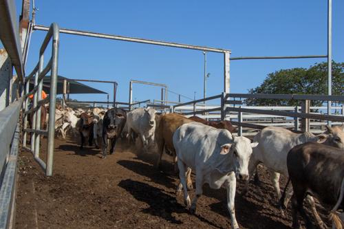 Mustering auf einer Rinderfarm bei Rockhampton