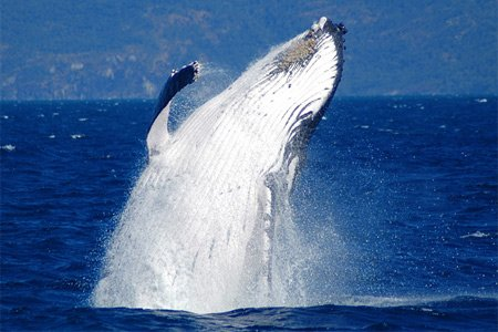 Whale Watching in Cairns mit Reef Magic