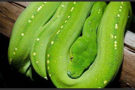 Grüne Baum-Python, www.wildlifesydney.com.au