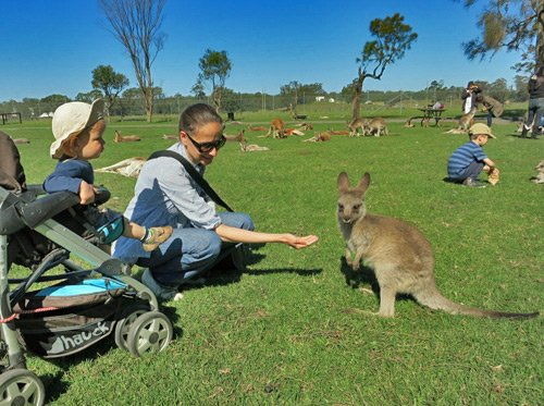 Kängurus auf der Oakvale Farm bei Port Stephens